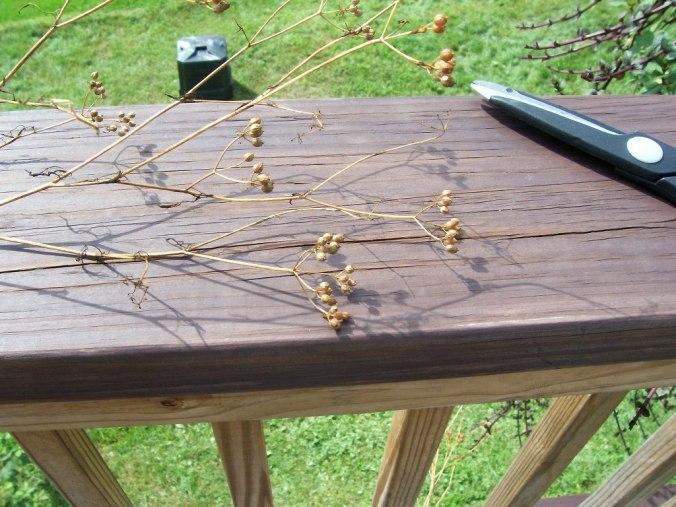 Cilantro Seeds 1